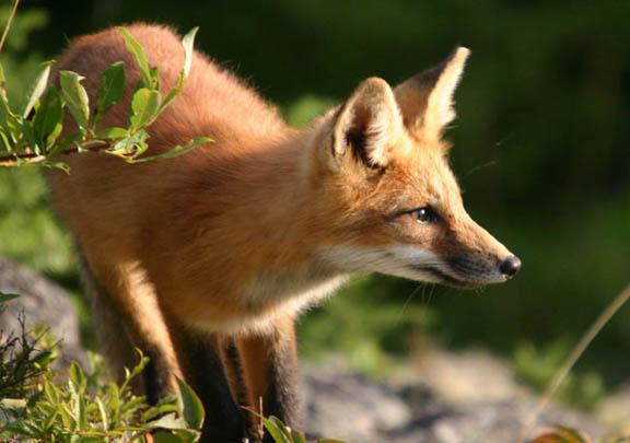 Les renard et les loup Renard2sw